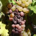 Les maladies de la vigne : quelles solutions ?