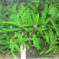 Les plantes aquatiques Cryptocorynes