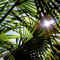Comment savoir si mon palmier manque d'eau ?