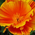 Les plantes annuelles amoureuses du soleil