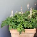 Un balcon orné de plantes vivaces ?