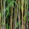 Quel bambou choisir pour une haie de jardin ?