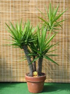 Yucca gloriosa en pot de terre-cuite