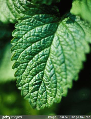 Les feuilles de mélisse séchées et broyées peuvent être ajoutées aux farines des amorces.