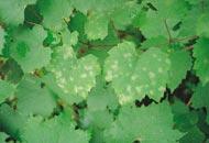 maladie-vigne-oidium