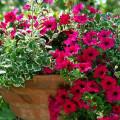 Les dix commandements des soins aux plantes de balcons